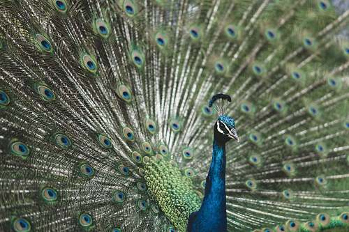 peacock shallow focus photography of blue Peafowl bird