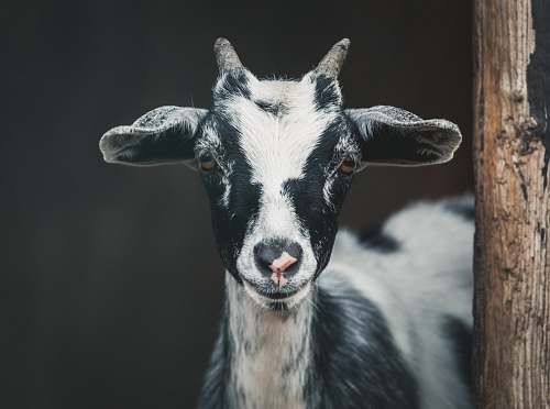 goat shallow focus photography of white and black goat mammal