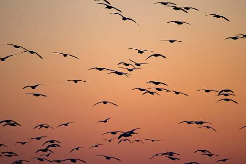 flock silhouette of birds flying during orange sunset middle creek wildlife management area