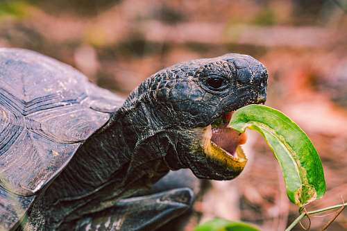 turtle turtle eating leaf reptile