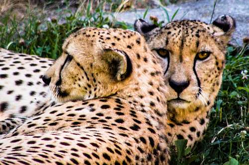 panther two cheetahs lying on green grass wildlife