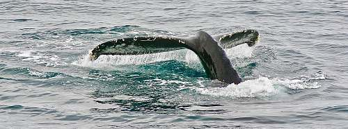 whale whale tail taken on sea\ newport beach