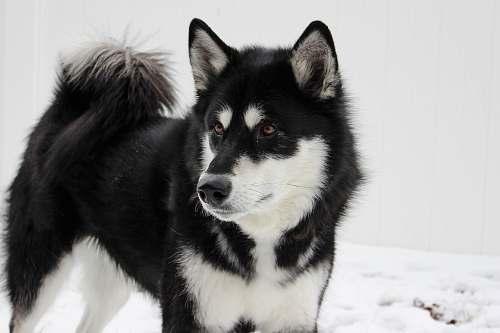 dog white and black Siberian husky husky