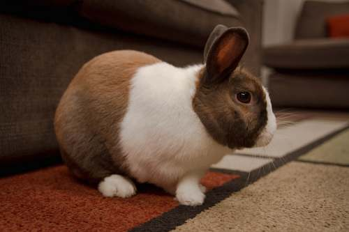pet white and brown rabbit mammal