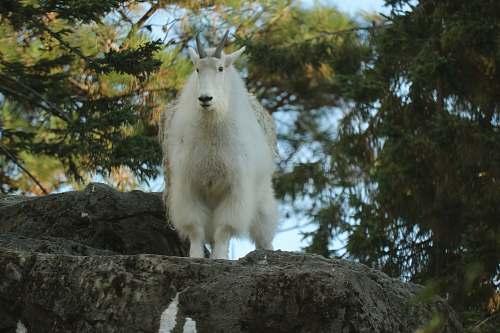 goat white animal standing during daytime mammal