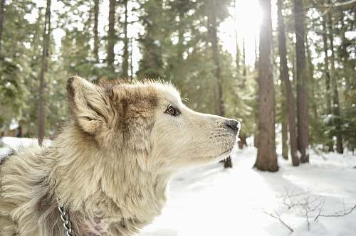 dog white wolf on snow forest wolf