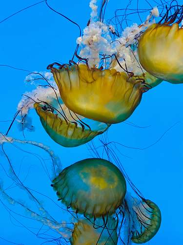invertebrate yellow jellyfish in blue water jellyfish