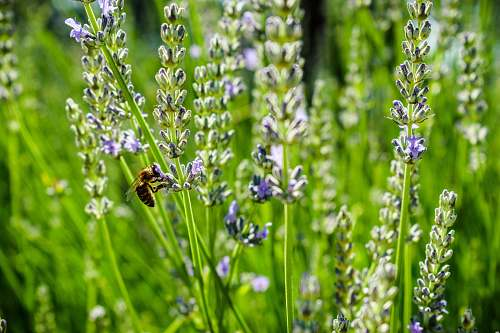 plant purple and white petaled flowers honey bee