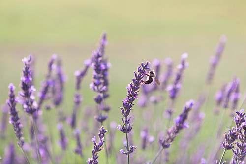 plant purple flowers in bloom honey bee
