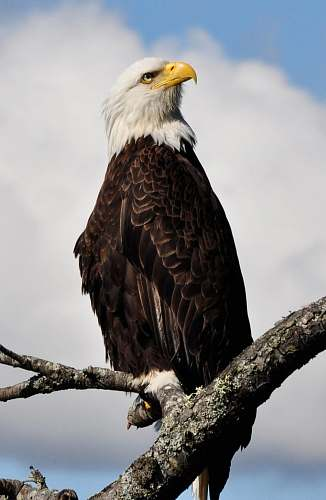eagle bald eagle standing on gray tree branch animal