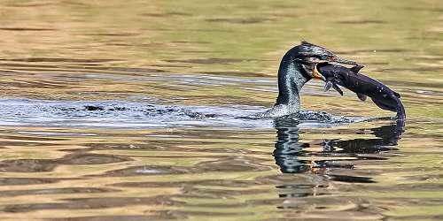 cormorant black bird eating fish animal