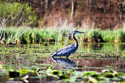 heron gray cane bird standing in body of water waterfowl