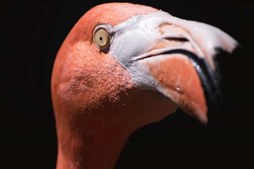 animal macro shot photography of pink flamingo flamingo