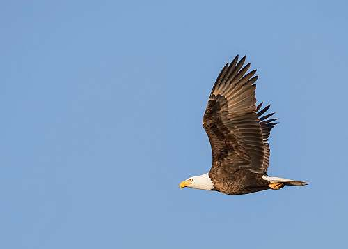 animal photo of bald eagle flying in the sky eagle