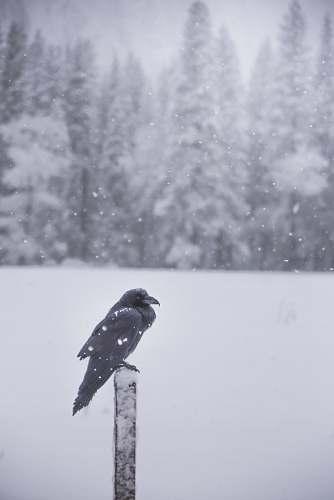 animal raven perching on black lumber grey