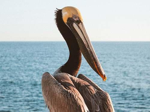 pelican shallow focus photo of pelican animal
