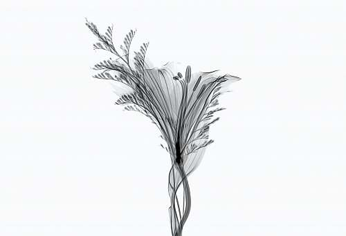 plant gray lily flower isolated on white background arecaceae