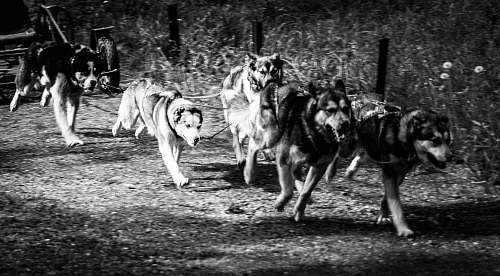 animal grayscale photography of running dogs canine