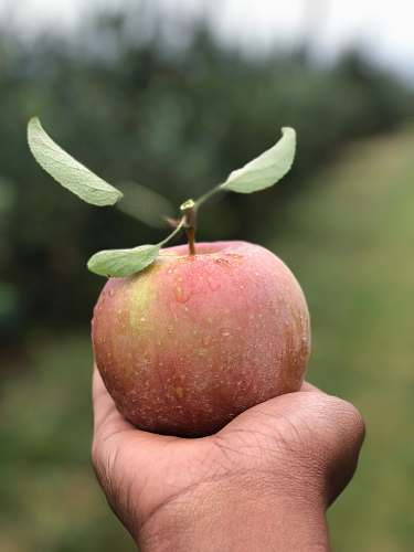 bud selective focus photography of person holding apple fruit flora