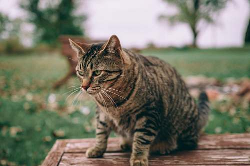 animal selective focus photography of brown tabby cat on brown wooden table mammal