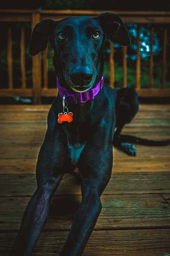 animal black Labrador dog laying on wooden surface canine