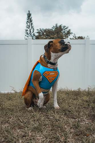 pet dog wearing Superman costume boxer