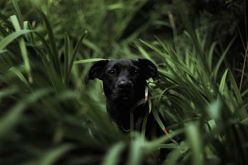 grass short-coated black dog in grass field in tilt shift photography canine