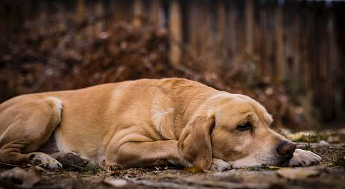 pet short-coated tan dog lying on soil golden retriever