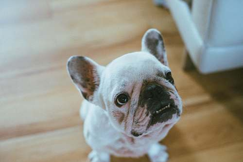 french bulldog short-coated white puppy on wooden floor pet