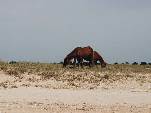farm two horse eating grass shackleford banks