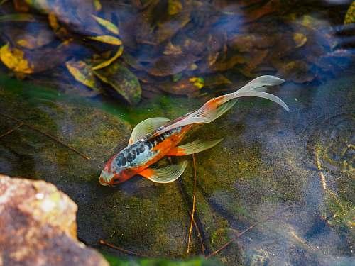 koi orange koi fish on body of water animal