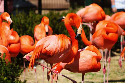 animal shallow focus photography of orange flamingos bird