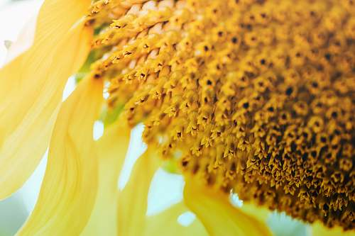 blossom close-up photography of yellow sunflower flower