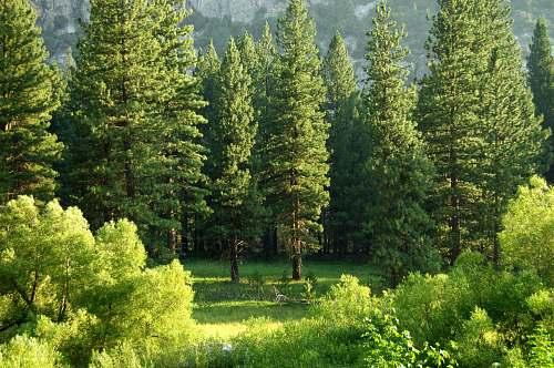 tree pine trees conifer
