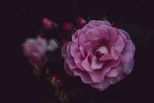 flower pink cluster flower plant