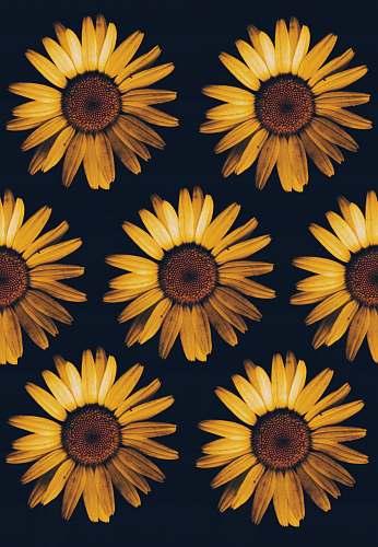sunflower closeup photo of orange petaled flowers hazleton