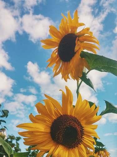 plant closeup photo of sunflower sunflower