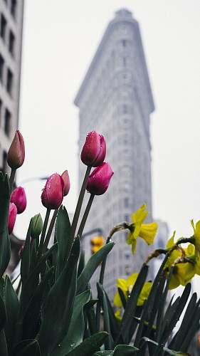 tulip Flatiron Building, New York blossom