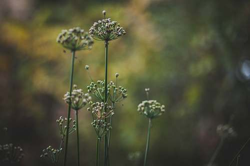 plant green leafed plants dill