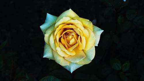 rose macro photography of yellow petaled flower blossom