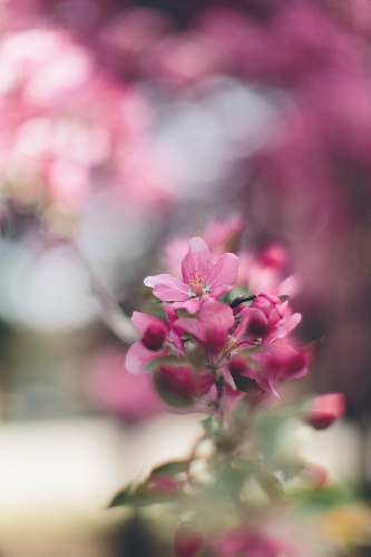 blossom pink petaled flower selective focus photography flora