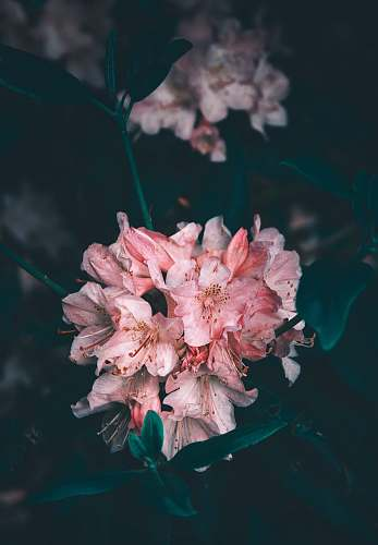 blossom pink-petaled flowers plant