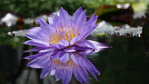lily purple petaled flower on water blossom