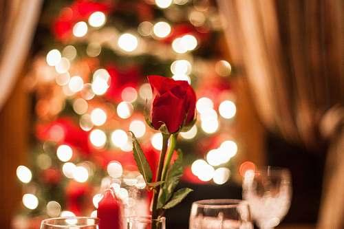 blossom red rose in bokeh effect rose