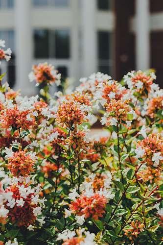 plant selective focus photo of orange and white ixora flowers lee university