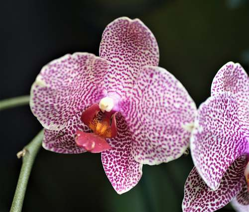 orchid white and pink orchid blossom