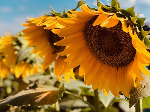 plant yellow sunflower sunflower