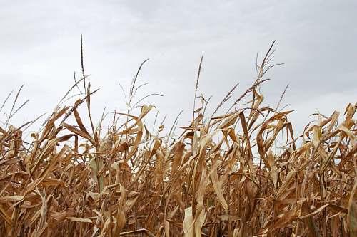 flora corn field under gray sky grain
