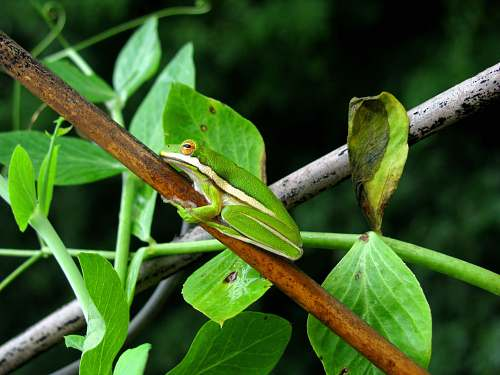 amphibian tree frog on branch wildlife
