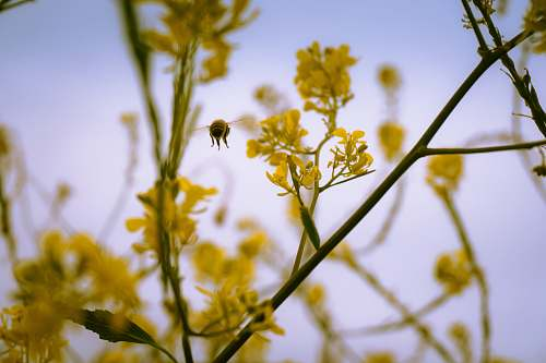 pollen micro microphotography of bee hovering near yellow petaled flower goleta beach park